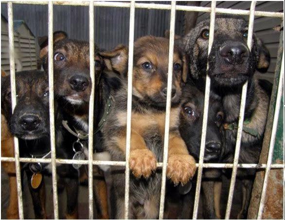 Pies ze schroniska czy rasowy z hodowli? Piesologia
