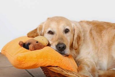 Pies czy suka? - Piesologia