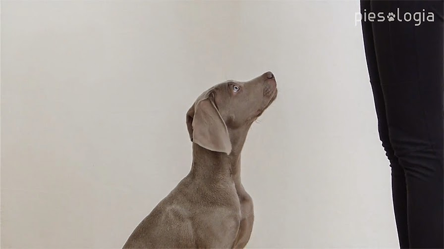 Kiedy rozpocząć szkolenie szczeniaka? Jak nauczyć psa samokontroli?