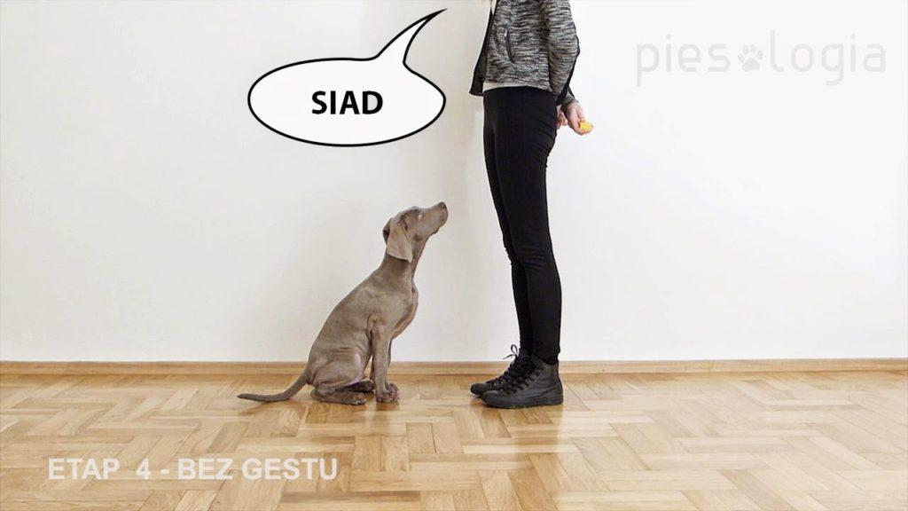 Jak nauczyć psa komendy siad