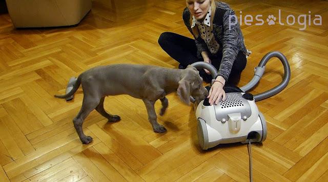 Jak przyzwyczaić psa do odkurzacza?