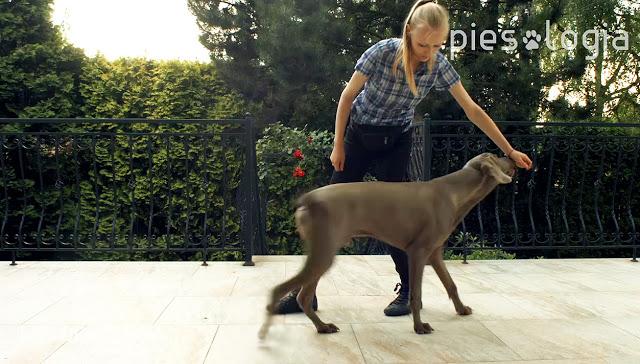 Jak nauczyć psa komendy równaj czyli dostawienia się do nogi