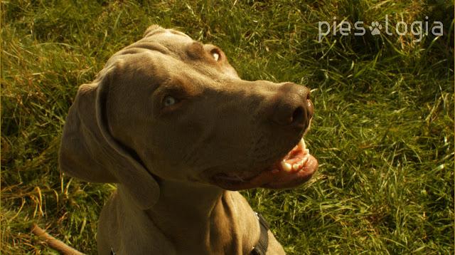 Jak nauczyć psa skupienia uwagi na przewodniku?