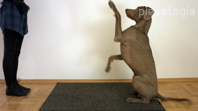 """Jak nauczyć psa sztuczek: """"daj łapę"""", """"piątka"""", """"papa"""""""