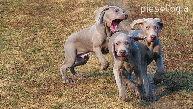 psie przedszkole
