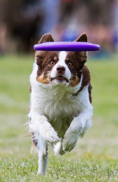 Psie sporty - Dogfrisbee