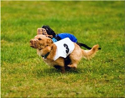 Psie sporty - Coursing
