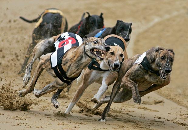 Psie sporty - Wyścigi torowe chartów
