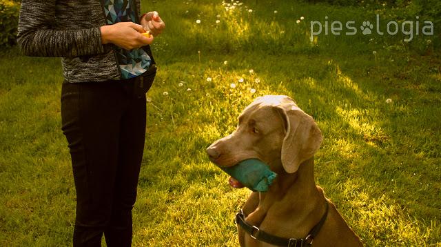 Jak nauczyć psa aportowania?