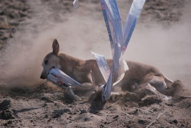 Psie sporty - Próby pracy smyczy
