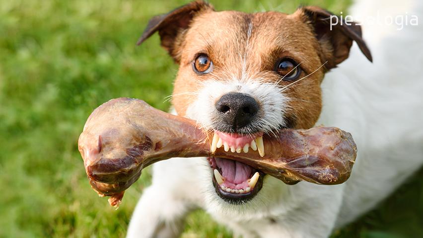 pies broni miski