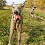pies nie słucha na spacerach - cover