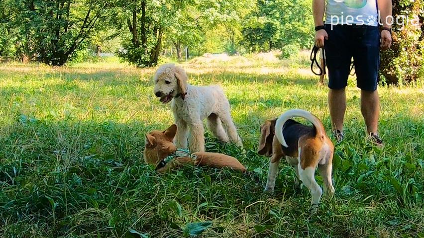 zabawa psów - przerwa