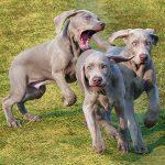 zabawa psów - cover
