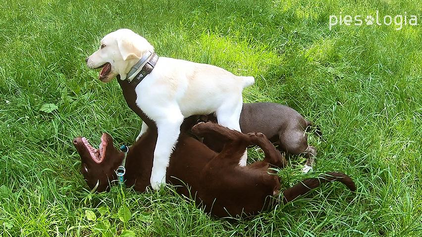 zabawa psów - zapasy