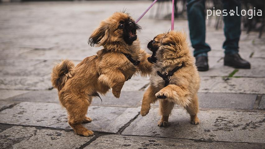 zapoznanie psów na smyczach