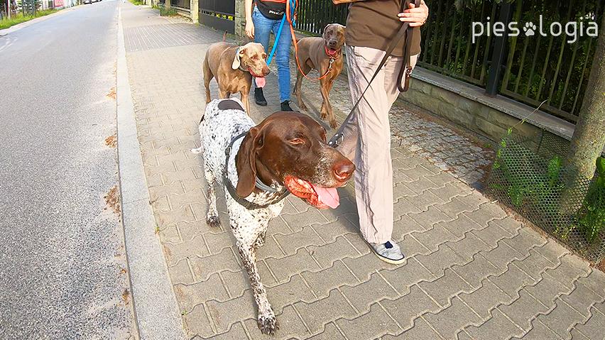 zapoznanie psów - spacer równoległy