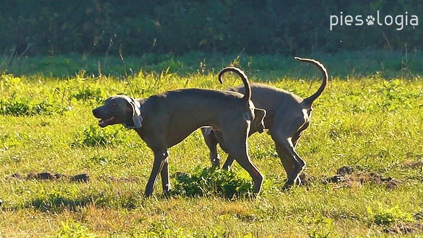 zapoznanie psów - komunikacja zapachowa