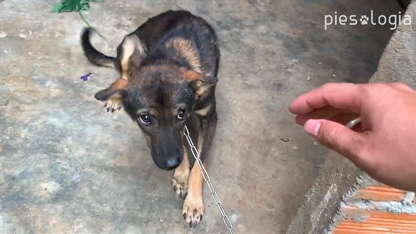merdanie ogonem - nisko opuszczony ogon przestraszonego psa