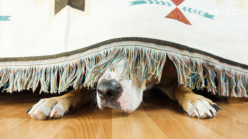 Pies schowany pod łóżkiem