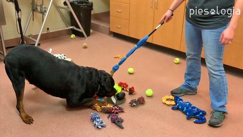 Rottweiler robi ukłon zabawowy broniąc zabawki