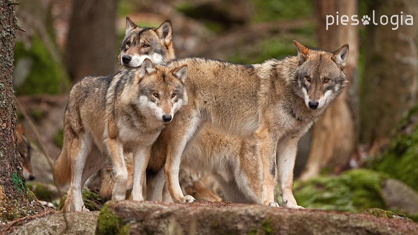 grupa wilków
